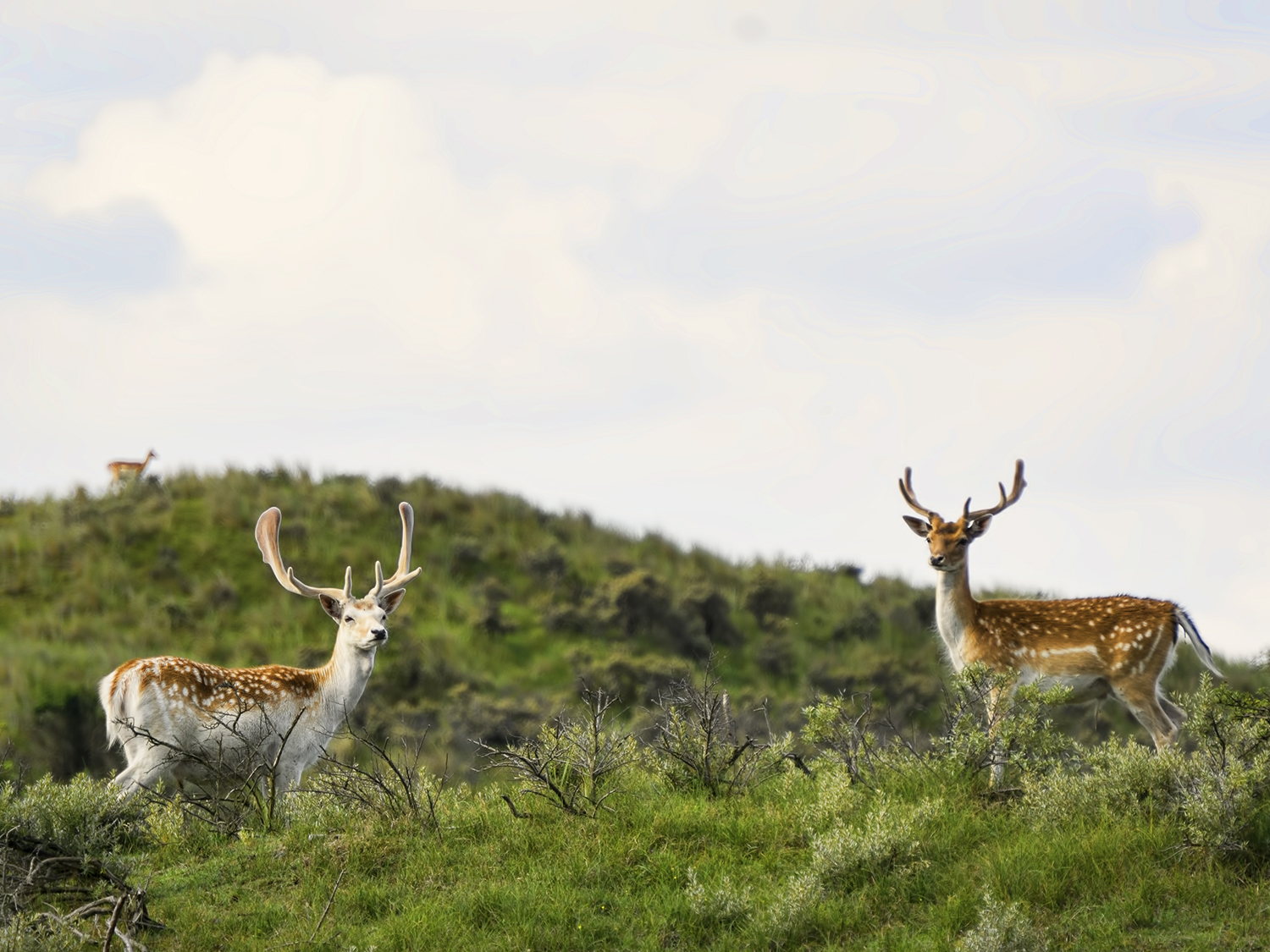 Deer in Amsterdamse waterleidingduinen